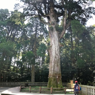 800 year-old 御神木 (Go-shinboku) Sacred Tree