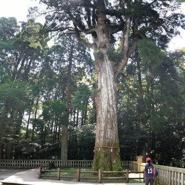 800 year-old 御神木 (Go-shinboku) Sacred Tree